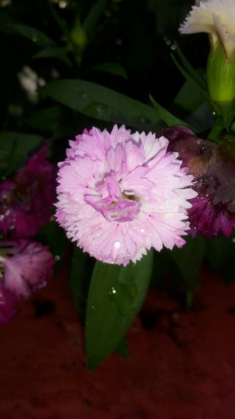 Pompón rosa con rocío