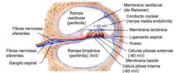 Psicobiología de los sentidos: el Oído