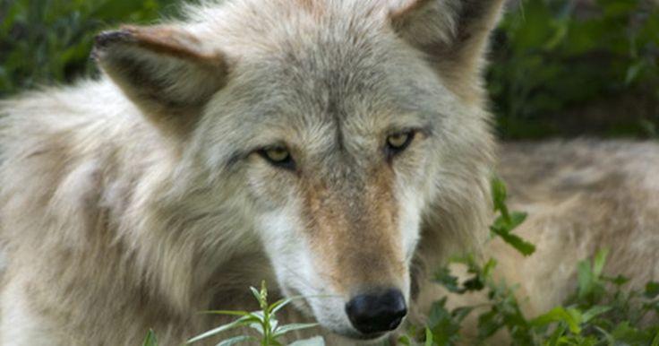 Comparación de dientes de perros y lobos. Los lobos y los perros están estrechamente relacionados. Ambos pertenecen a la familia de mamíferos carnívoros, pueden haberse entrecruzado y muchos perros (sobre todo las razas del Norte, como los perros esquimales Siberianos y Huskies) pueden confundirse con lobos a primera vista. Sin embargo, hay diferencias significativas entre los dos, física ...