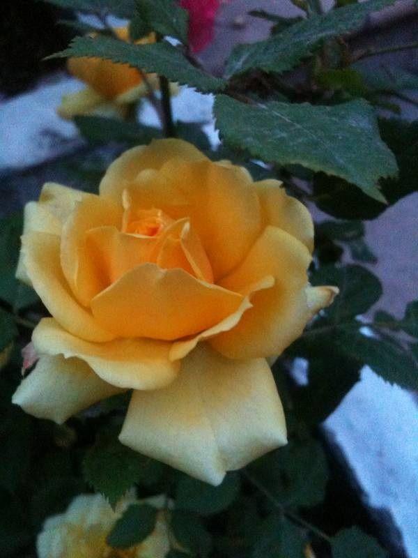 Yellow rose / Rosa amarilla