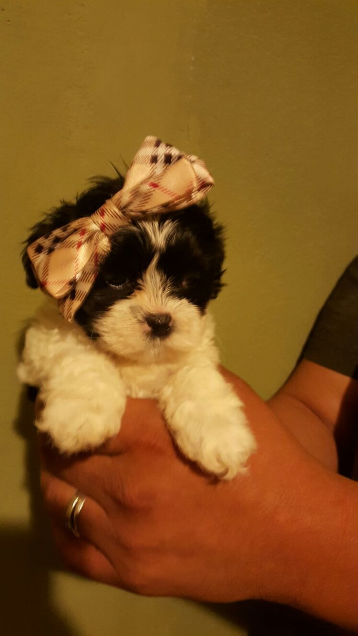 Shichon puppies for sale in kentucky - Shichon Teddy Bear Dog Puppy