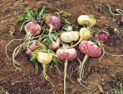 The Shocking Reality of Peru's Maca Root Industry: Can this Superfood Survive Our Insatiable Hunger for Exotic Foods? http://www.organicauthority.com/the-shocking-reality-of-perus-maca-root-industry-can-this-superfood-survive-our-insatiable-hunger-for-exotic-foods/