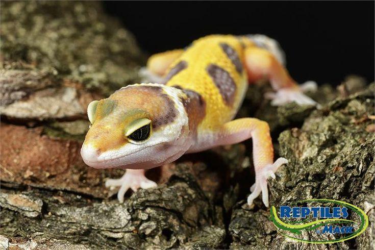 39 best Leopard Geckos images on Pinterest | Leopard ...