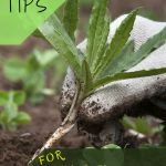 Agapanthus plants are hardy and easy to get along with, so you are understandably frustrated when your agapanthus does not bloom. If you have nonblooming agapanthus plants and want to know why, this article will help.