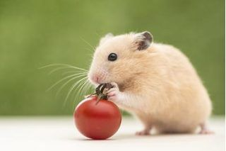 Hamsters usually thrive on a diet of hamster pellets and occasional treats. In the wild, hamsters eat plants, seeds, insects and fruits; in captivity they often favor one type of food, which leads to an unbalanced, unhealthy diet. Hamster pellets containing carbohydrate, vitamins, minerals, 16 percent protein and 4 percent to 5 percent fat meet...