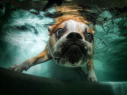 Underwater Dogs: Animals, Bulldogs, Pet, Funny, Underwater Dogs, Seth Casteel, Underwaterdogs, Photography
