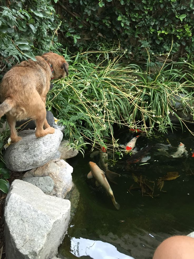61 best dogs with koi fish images on pinterest koi ponds for Koi pond labradors