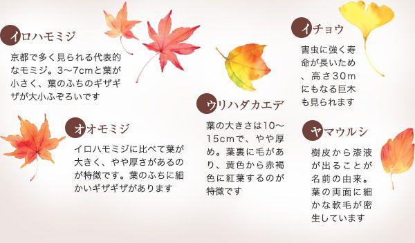 【①イロハモミジ】京都で多く見られる代表的なモミジ。3~7cmと葉が小さく、葉のふちのギザギザが大小ふぞろいです 【②オオモミジ】イロハモミジに比べて葉が大きく、やや厚さがあるのが特徴です。葉のふちに細かいギザギザがあります 【③ウリハダカエデ】葉の大きさは10~15cmで、やや厚め。葉裏に毛があり、黄色から赤褐色に紅葉するのが特徴です 【④イチョウ】害虫に強く寿命が長いため、高さ30mにもなる巨木も見られます 【⑤ヤマウルシ】樹皮から漆液が出ることが名前の由来。葉の両面に細かな軟毛が密生しています