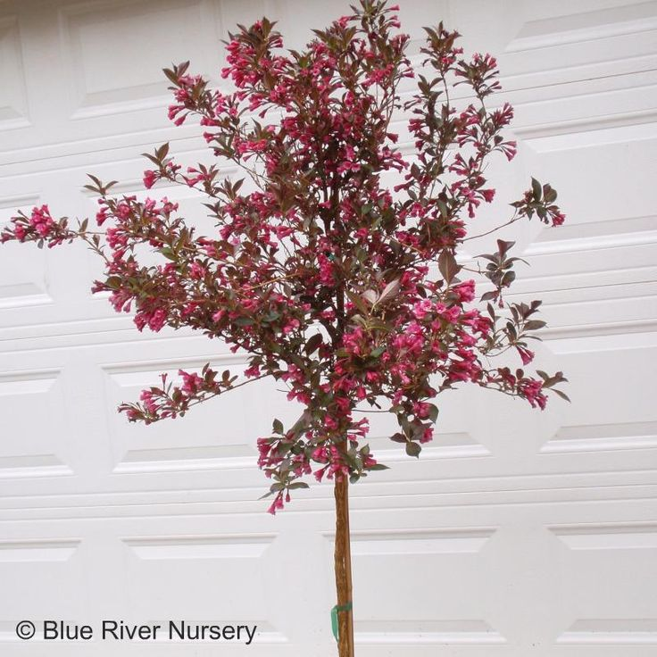 Weigela Wine And Roses Patio Tree Weigela Wine And