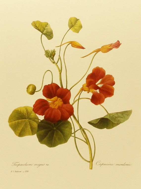 Vintage Redoute Flower Print, Indian Cress Nasturtium, Botanical Illustration (For You To Frame) 9 x 12 Book Plate No. 139. $5.00, via Etsy.