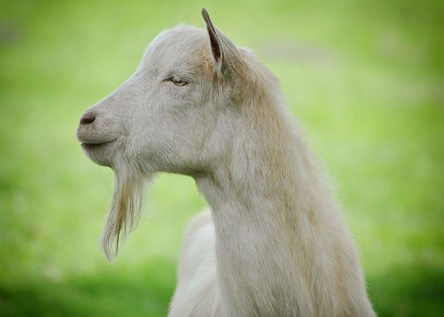 Organic Lavender Goat S Milk Lotion Goat Milk Goats Milk Lotion Birthday Meme