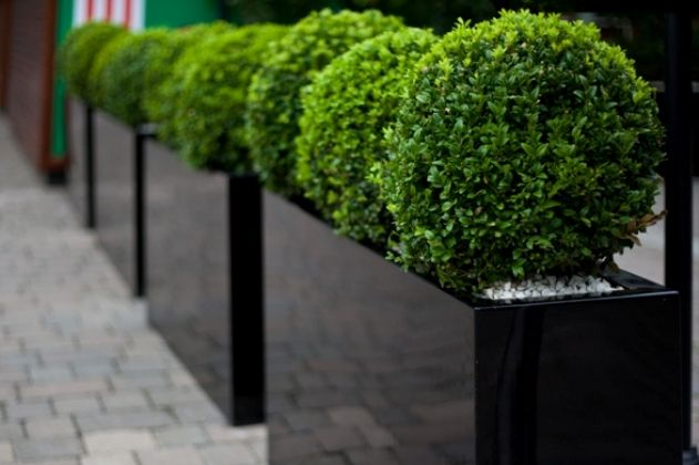 Buxus balls in fibreglass troughs as a divider.