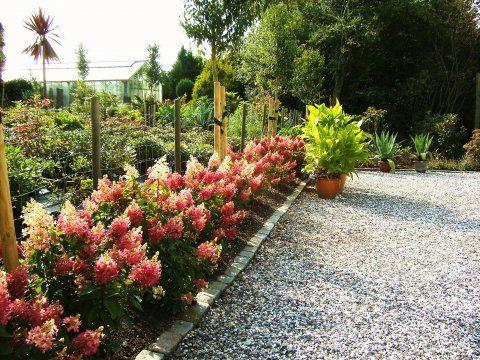 FAVORITT Hydrangea 'Pinky Winky'/syrinhortenisa blir 2-3 m høy, blomstrer august-oktober