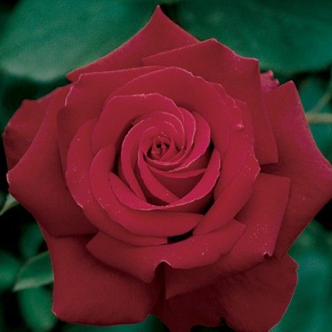 another possible red rose. trying to pick one of the three