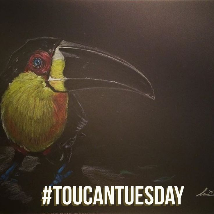 Toucan Tuesday isn't bad, it's just drawn that way.  #toucan #tuesday #toucantuesday #bird #birds #birdsofinstagram