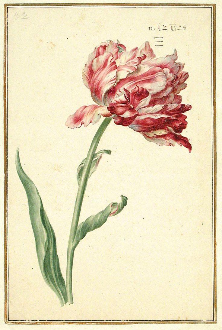 Karlsruher Tulpenbuch - Antique beautiful botanical illustration.