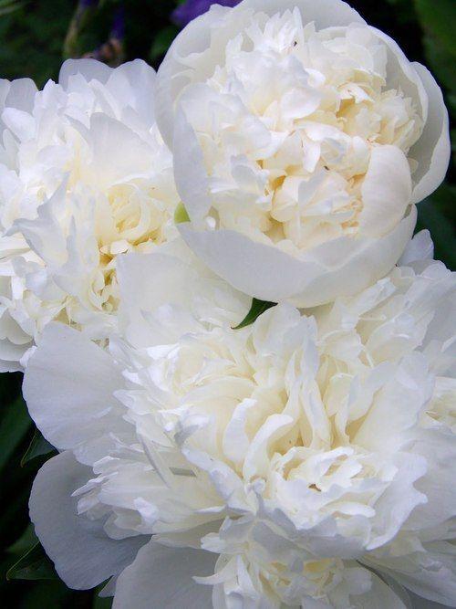 Pivoines blanches <3