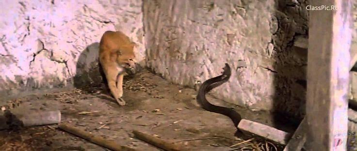 Кот дерётся с коброй — Как учился Джек Чан http://classpic.ru/video/kot-deryotsya-s-kobroj-kak-uchilsya-dzhek-chan.html   Кунг-Фу-мастер Джеки Чан открывает секреты своих тренировок, на которых он учился у кота, дерущегося с коброй.