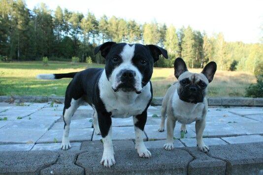 Two Friends #staffordshirebullterrier #frenchbulldog #staffy #frenchie