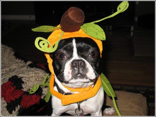 boston terrier halloween costume showcase 2006 - Halloween Costumes In Boston