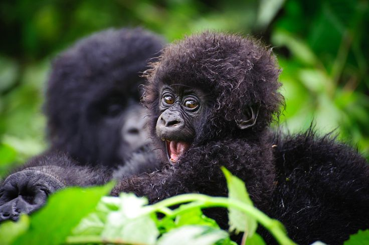 This baby mountain gorilla from Rwanda can't believe you think he's handsome!