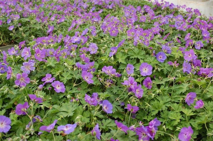 There's purple everywhere! Our freshly watered Rozanne Geranium. #Geranium #purple #flowersfordays