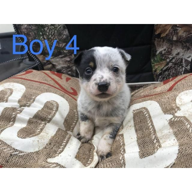 Australian Cattle Dog Fort Rock 5 Weeks Old Australian Cattle Dog