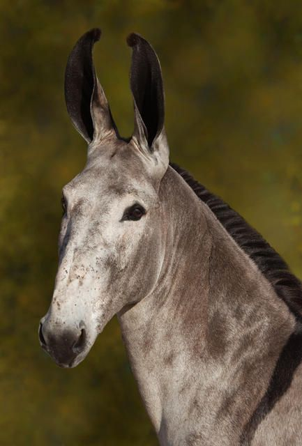 I used to show mules and I LOVED clipping their manes and ears and tail. That perfect roach, that little tuft on the ears. I love longears.