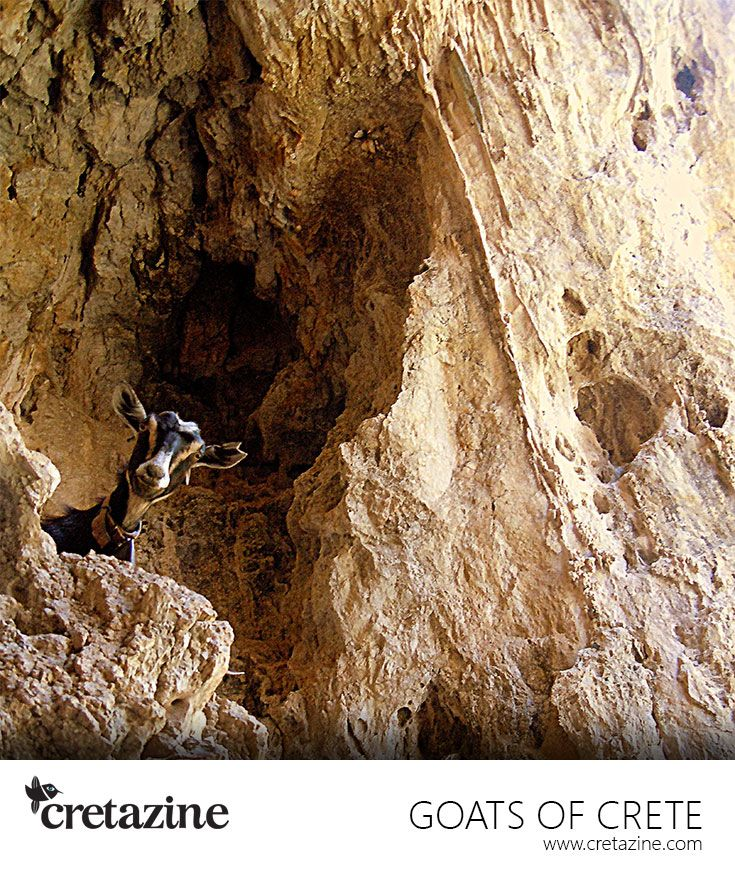 Peek-a-boo! Yet another lovely goat playing hide-and-seek. Meet her at Agiofaraggo Gorge #Crete: http://cretazine.com/en/crete/travel-explore/island-routes/item/53-agiofaraggo-eng