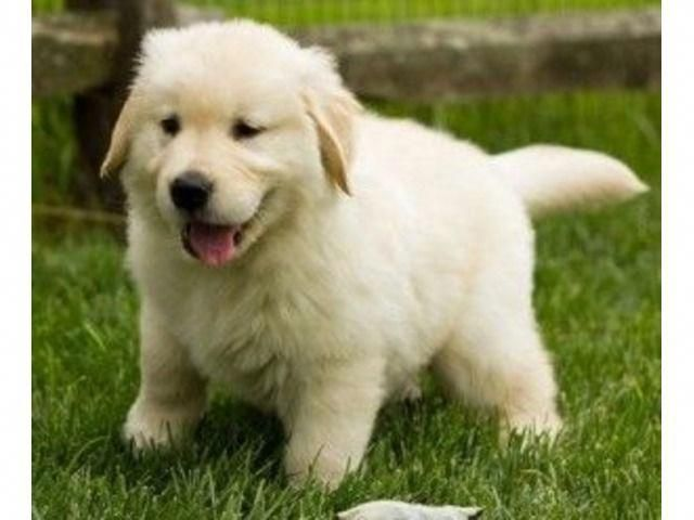 Male And Female Golden Retriever Puppies Available Labrador