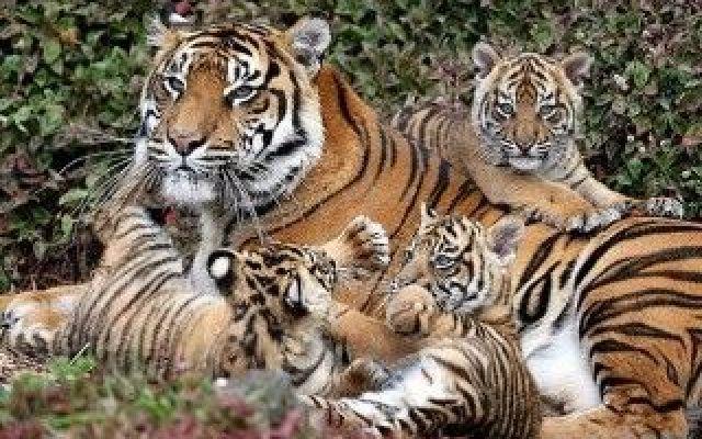 In Cina si produce il liquore di Tigre: ecco in che modo orrendo In Cina la cultura degli Zoo è alquanto sgangherata, dato che Chau Chau rasati sono stati messi in gabbie al posto di leoni o riverniciati da cuccioli per truccarli da panda. Altri vanno anche oltre, #cina #tigre #animali #esteri #zoo