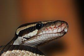Snake, Pitón Bola, Python Regius