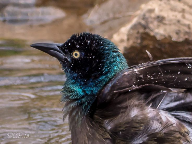 Common Grackle taking a bath