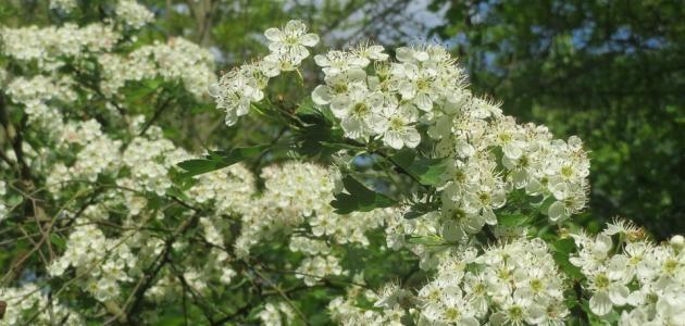 الزعرور فوائد زهرة الزعرور طريقة استخدام زهرة الزعرور فوائد عامة لشجرة الزعرور فوائد الزعرور الأصفر أنواع الزعرور الزعرور الزعرور نبات Herbs Plants