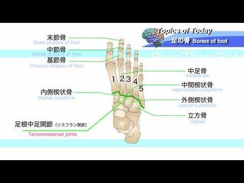 足の骨 Bones of foot : 理学療法士による身体活動研究 - https://www.youtube.com/watch?v=yqSeL5niDiY