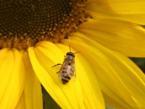 Bee syrup is good to make and have on hand both for helping your bees settle into their new hive and feeding your bees on a regular basis.  Here are some recipes and tips for feeding your bees.