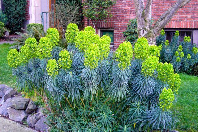 L'euphorbe characias est une plante majestueuse, graphique et architecturale, très utile pour structurer le jardin car elle reste bien visible toute l'année grâce à ses tiges et à son feuillage persistants. De croissance très rapide, ses capacités d'adaptation sont impressionnantes.