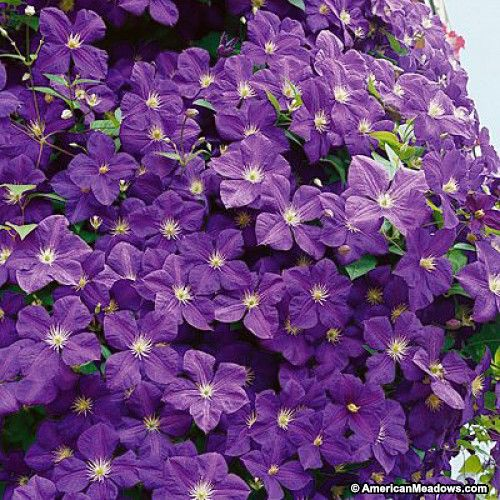 """Purple Clematis Jackmanii, Clematis Vine Clematis, Mature Plant Size10-12' tall, 36-72"""" wide Bloom TimeEarly summer then again in late summer"""