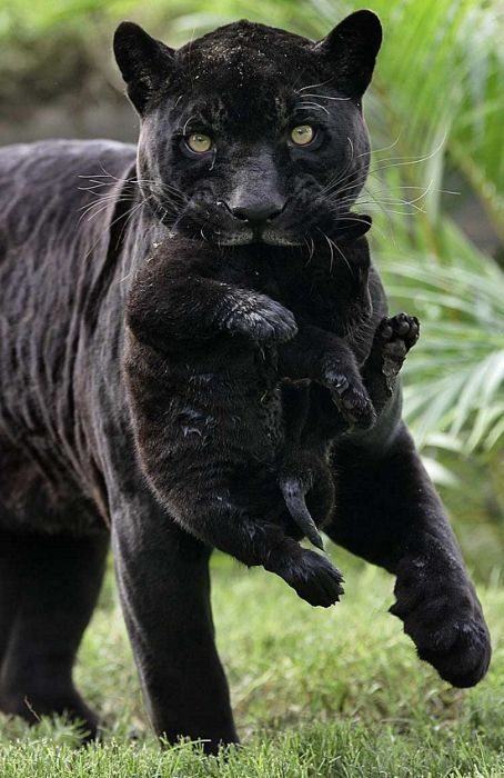A rare shot of a black panther w/ baby