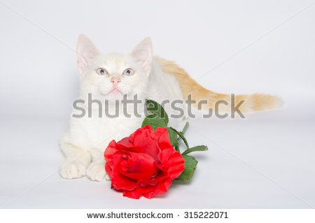 White Kitten with beautiful blue eyes and red rose isolated on white background. #RedRose #Flower #Pet #Cat #Feline #Romantic #Passion #Love #Animal #BlueEyes #WhiteCat #Portrait #Studio
