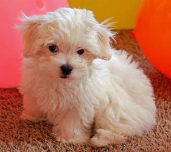 Tengo un perrito maltés disponible por un buen precio. está vacunado, registrado y tiene muy buen temperamento. Estupendo para los niños y tiene todos sus papeles. las personas interesadas son bienvenidas para más información.