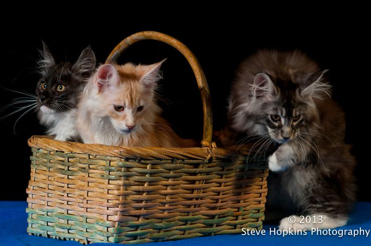 Kittens at TICA show in RI © Steve Hopkins Photography