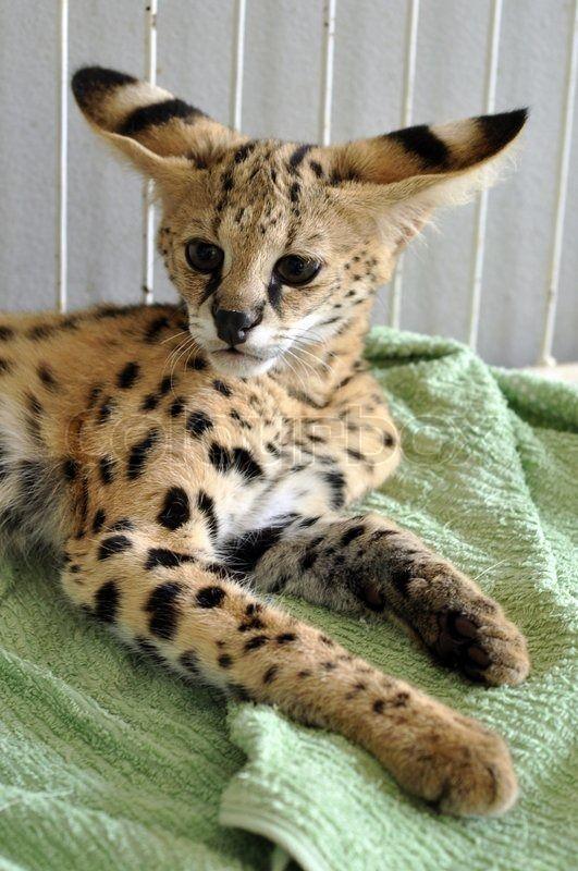 die 25 besten ideen zu savannah katze auf pinterest afrikanische servalkatze serval und. Black Bedroom Furniture Sets. Home Design Ideas