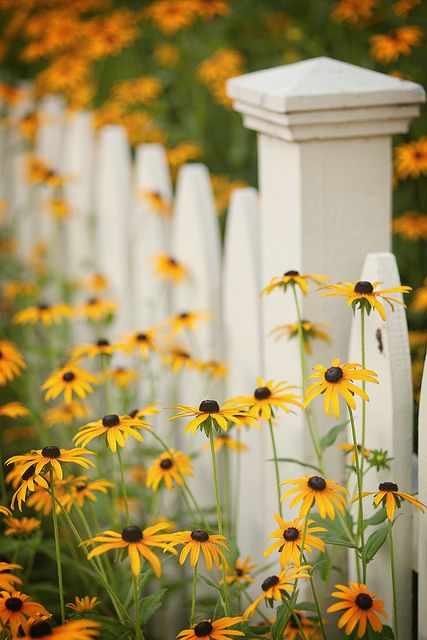 Blackeyed susans, 1-2 feet tall and 1-2 feet wide, sun/shade large to medium water