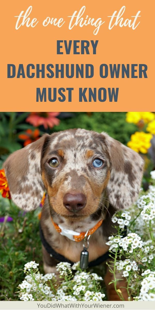 The Truth About Dachshunds And Back Problems Dog Training Books