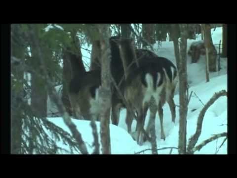 Suomen eläimiä: hirvieläimiä , video
