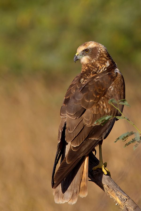 Western Marsh-harrier (Circus aeruginosus) is a large harrier, a bird of prey from temperate and subtropical western Eurasia and adjacent Africa. It is also known as the Eurasian Marsh-harrier.