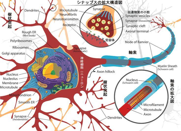 脳と記憶、記憶のされ方