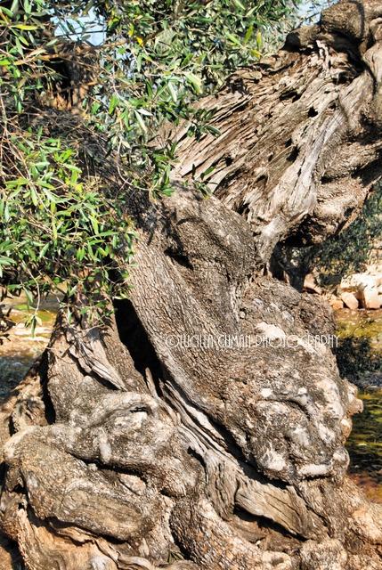 Olive tree.Ostuni. Puglia