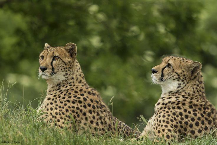 Portraits de 2  de nos femelles guépards.